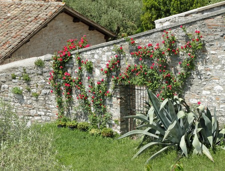 stone fence flowering white garden rose creeper on antique stone wall stock