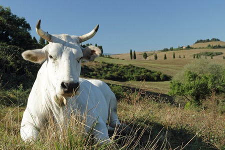 closeup of white tuscan cow on pasture with hills on the backgrounds, Italy, Europe