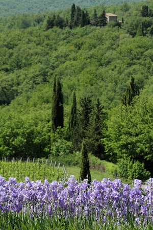 bearded iris: flowering bearded iris blooms  in  wonderful Tuscan countryside Stock Photo
