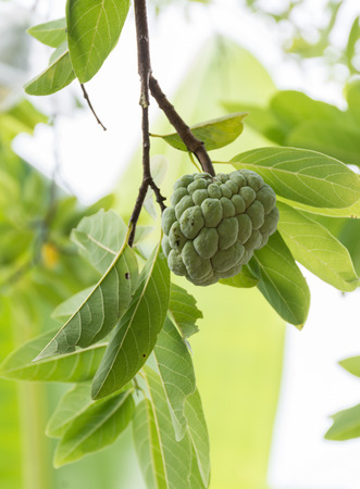 custard apple fruit: Custard apple fruit,Annona squamosa