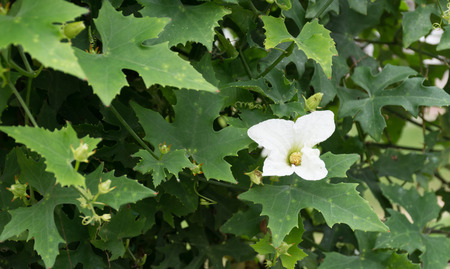 coccinia grandis: Flower Ivy Gourd or Coccinia grandis Stock Photo