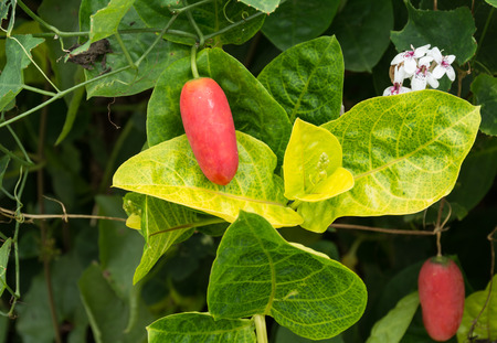 coccinia grandis: Ivy gourd, Coccinia grandis, Family Cucurbitaceae from central of Thailand
