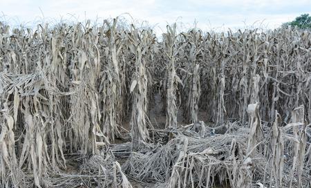 cornfield: Drought Damaged Cornfield