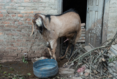 urination: A goat urinating on a floor