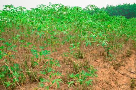 planta de maiz: Hojas de la planta de yuca. La yuca es la tercera fuente de hidratos de carbono de los alimentos en los trópicos, después del arroz y el maíz Foto de archivo