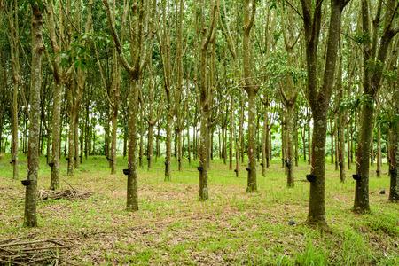Gummibaum Farm im Norden von Thailand. Standard-Bild