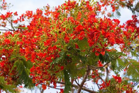 leguminosae: Flamboyant, The Flame Tree, Royal Poinciana, Peacock flower, Caesalpinia ulcherrima, Leguminosae Stock Photo