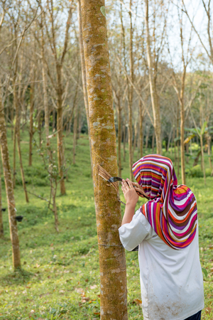 Lady worker people working and tapping rubber tree with cup rubber tree row agricultural, green leaves background,agriculture in southeast asia.