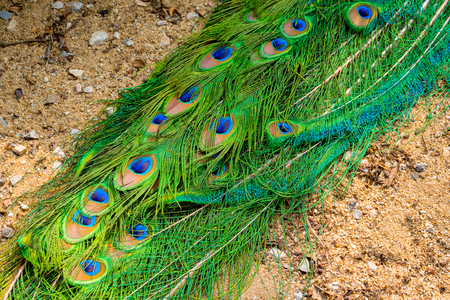 plummage: Peacock tail feathers forming a pattern filling the frame
