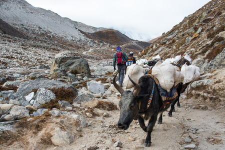 Yaks carrying heavy goods to Everest Base Camp in Himalaya - Sagarmatha National Park, Khumbu region, Nepal