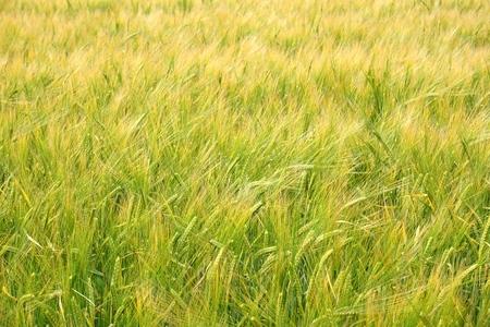 cultivo de trigo: Trigo Joven En verano Finales