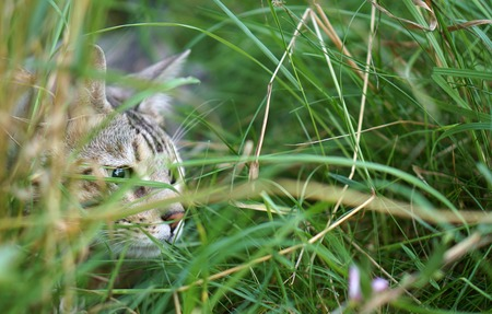 intent: A young silver tabby cat camouflaged in tall grass as it hunts its prey.