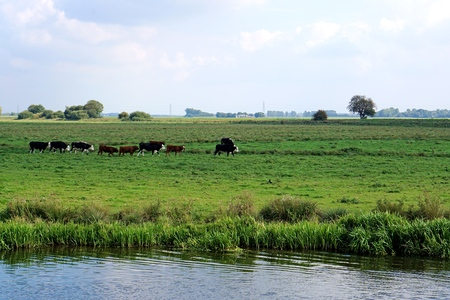 riverside trees: A small herd of Black Hereford cattle and red calves walking single file in a riverside fenland meadow with some trees and reeds, near Ely, Cambridgeshire. Sunny, summer, blue sky with clouds. Stock Photo