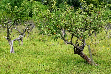 leaning on the truck: Small, young apple Malus domestica tree in a sunny summer orchard Stock Photo