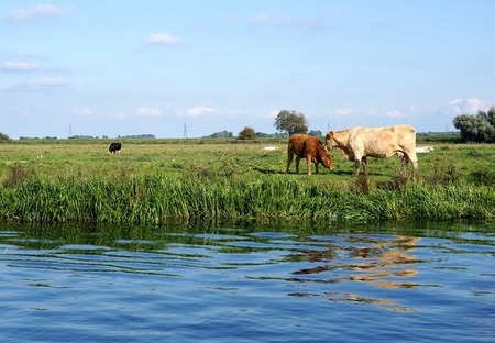 cambridgeshire: A Charolais cow mother nuzzles her red calf beside a riverbank in the Cambridgeshire fens