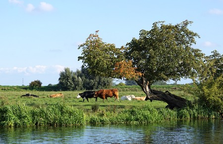 hereford: Red bull and Black Hereford in a riverside field in the Cambridgeshire fens, next to an old, leaning, misshapen tree.