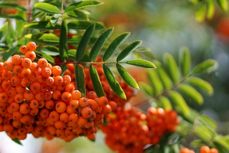 narrow depth of field: Dense orange berry clusters and pinnate leaves of the mountain ash, or rowan, tree, Sorbus aucuparia. Close up view, narrow depth of field. Stock Photo