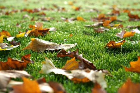 dewy: Fallen autumn leaves lie scattered on dewy grass, selective focus