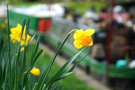 Daffodil And River Boats, Cambridge, England, Spring, selective focus