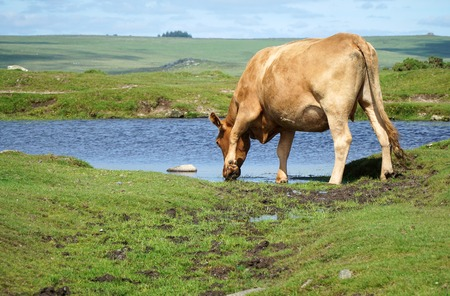 A cow drinks from a small pond in a summery hillside meadow Stock Photo