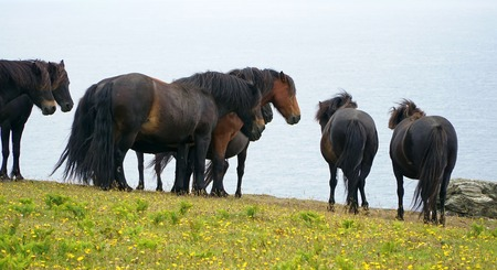 Wild Ponies Looking Out To Sea