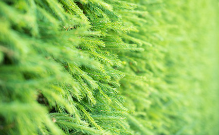 picea: Christmas tree blurred green background from picea abies