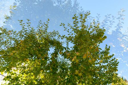 Double exposure of green apple trees overlaying each other against blue sky