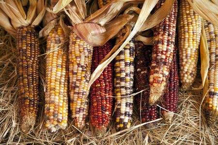 A group of all Thanksgiving or Halloween October raw ears of corn on the cob fresh off the stalks in a horizontal format. Stock Photo