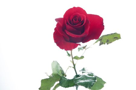 horizontal format horizontal: A red rose flower isolated against a white background in the horizontal format. Stock Photo
