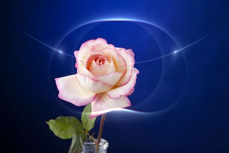 horizontal format horizontal: A pink rose isolated against a dark blue background in the horizontal format. Stock Photo