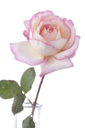vertical format: A pink rose isolated against a white background in the vertical format. Stock Photo