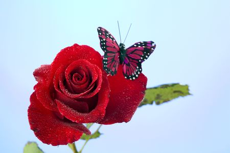 A red rose with water drops and butterfly isolated against a light blue background in the horizontal format.