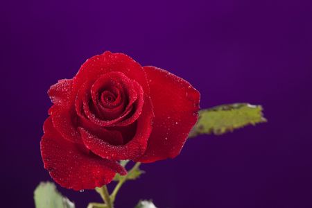 horizontal format horizontal: A red rose with water drops isolated against a dark purple background in the horizontal format. Stock Photo