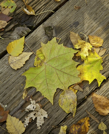 A group of fallen autumn leaves on an old wood floor in the vertical format. Stock Photo