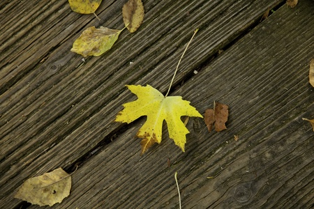 A gold or yellow tree leaf fallen on an old wood floor in the horizontal format. Stock Photo