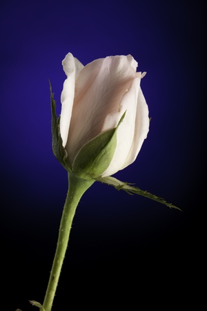 A pink rose bud flower bloom isolated against a blue spotlight background. Imagens