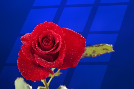 A red rose with water drops isolated against a blue background with a window wall silhouette.