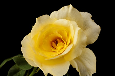 horizontal format horizontal: A yellow rose flower and stem isolated against a black background in the horizontal format. Stock Photo