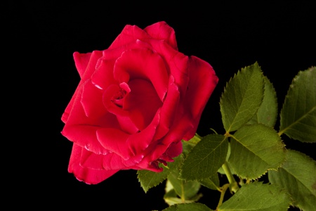 horizontal format horizontal: A red rose and stem isolated against a black background in the horizontal format. Stock Photo