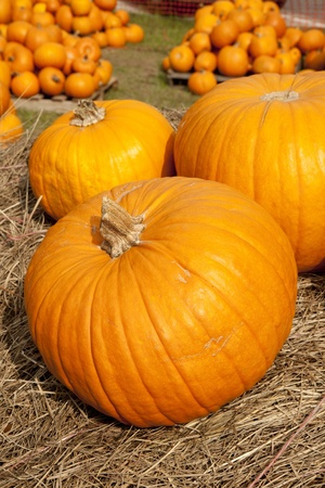vertical format: A large group of Thanksgiving or Halloween pumpkins in the vertical format.
