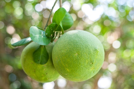 pomelo tree with bokeh background photo