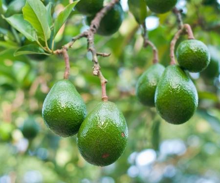 avocado: Avocado nella struttura ad albero Archivio Fotografico