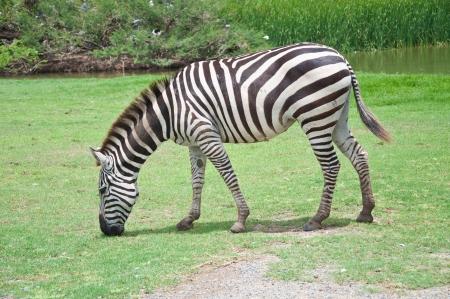herbivore natural: A zebra Stock Photo