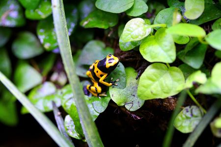 yellow and black poison dart frog: Poison Dart Frog