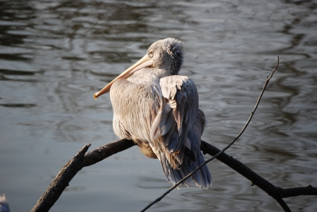 Louisiana Pelican photo