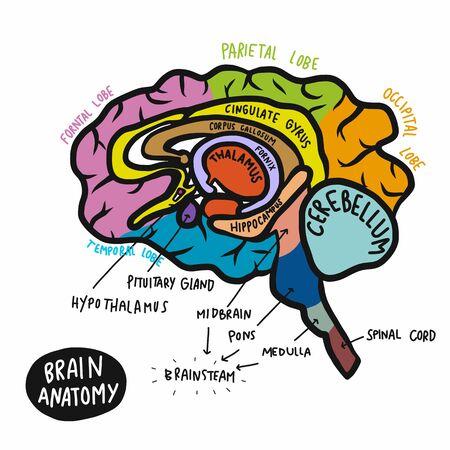 Ilustración de vector de anatomía del cerebro humano colorido
