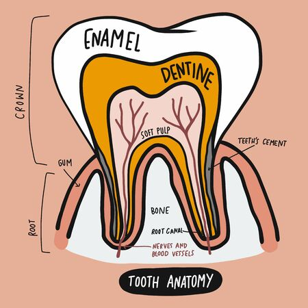 Tooth anatomy cartoon vector illustration