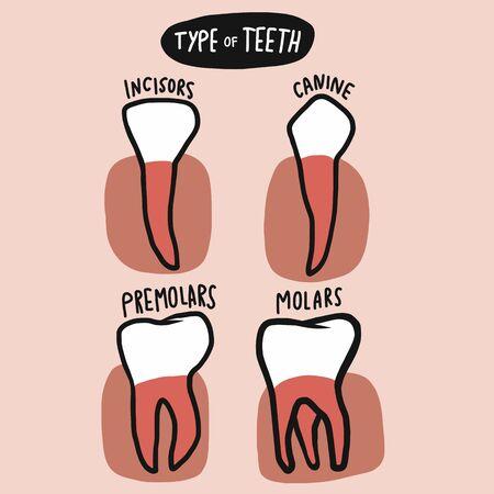 Type of teeth vector illustration