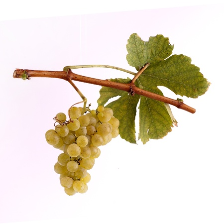 bunch of grapes: White grapes on a branch with leaf and white background Stock Photo