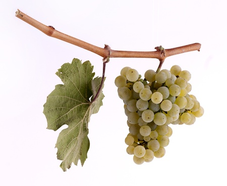 veining: Riesling grapes on a branch with leaf and white background Stock Photo